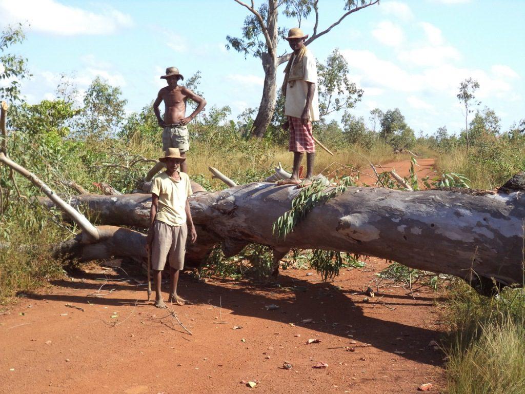 Arbre malade tombé sur la route - Farafangana