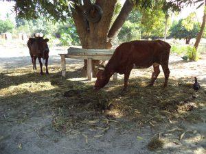Bermanonga -les 2 vaches de la communauté