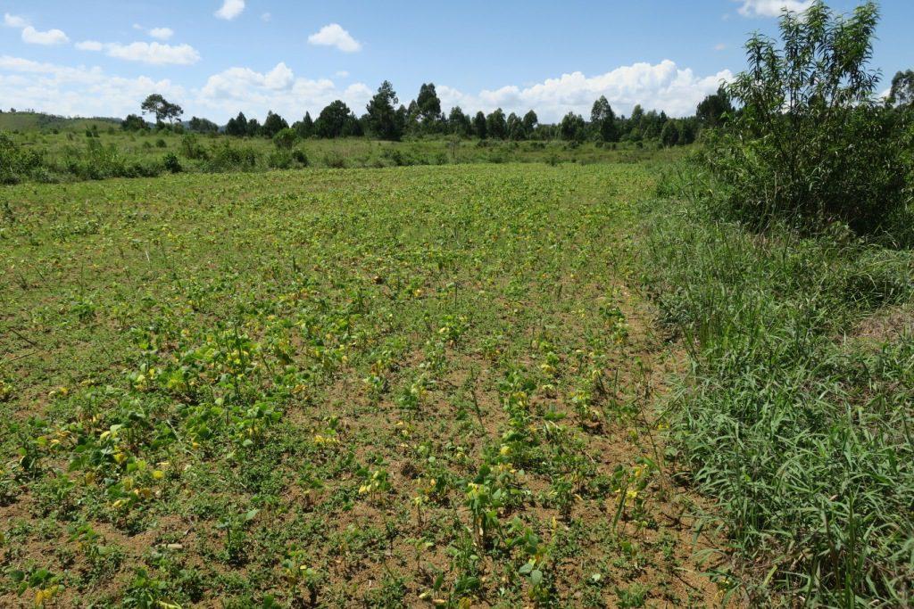 img_0706-moramanga-ankazobe-un-des-champs-cultive-par-la-communaute