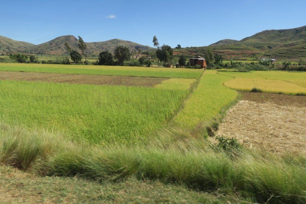 tana-tsiroanomandidy-rizières avec différents taux de maturité