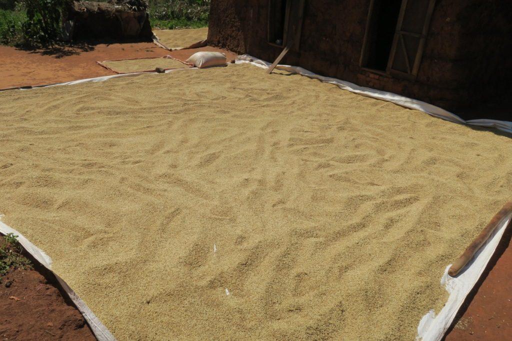 tsiroanomandidy-une belle récolte de riz séchée au soleil