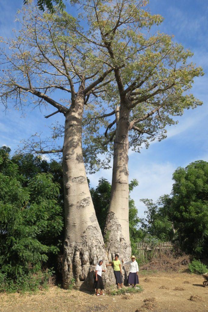 Bemanonga - D'imposants baobabs dans la cour de la Communauté